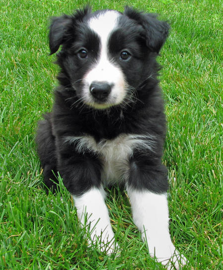 buddy-the-border-collie